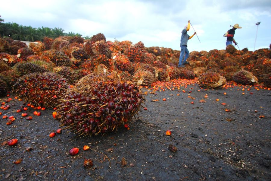 Labourers sorting out oil palm fruits Agriculture Commodity Cooking Estate Export Factory Fruits Harvest INDONESIA Industrial Industry Labour Labourer Malaysia Manual Market Mill Oil Oil Palm Palm Palm Oil Plantation Processing Supply Tree