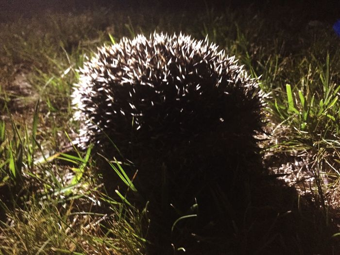 Grass Nature No People Animal Themes One Animal Outdoors Animals In The Wild Night Mammal Hedgehog Close-up
