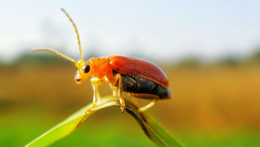 balancing act Nature Macros Naturephotography Growth uniqueness Unique Dispersal Picoftheday Macroshoot Beetle Insect Nature Beetle Bettles Beetle Bug Grass Grass And Sky Leaf Insect Full Length Red Close-up Animal Themes Plant Beetle Animal Leg Animal Limb