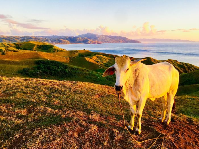 Cow standing on mountain during sunset