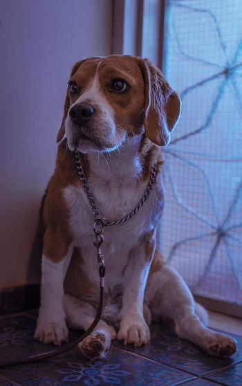 Light And Shadow Colorpallet Colorpallete Pet AnimalTheme Pose Cute Purebreddog Mammal Looking Domesticanimals Canine Indoors  Friendforever Friendship Portrait PortraitPhotography Resting Tranquility 35mm Dogphotography Rest Concentration Réflexion Modeldog  Model Beagle Sitting Dog Collar