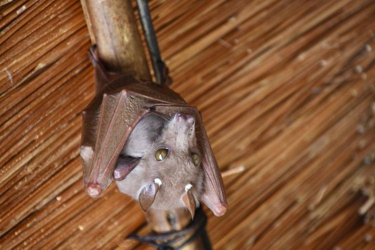 Bat holding its baby.