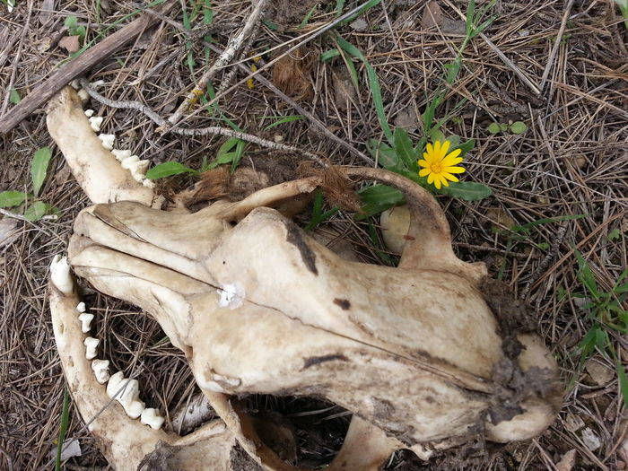 Animal Bone Animal Skull Close-up Country Life Countryside Day Death Dog Dog Died Dog Love Dog Skull Dogslife Field Flower Flower Collection High Angle View Life And Death Nature No People Outdoors Teeth