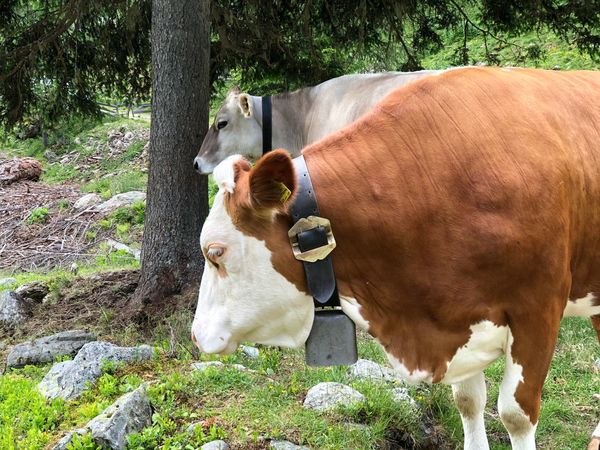 What a view🐄🤣 Ultental South Tyrol Alto Adige Südtirol Italien Italy Italia Cow Mammal Domestic Animals Animal Themes Animal Pets Domestic Plant Livestock Group Of Animals No People Field Nature Grass Day Two Animals Sunlight Domestic Cattle