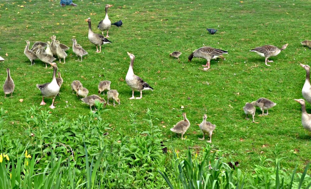 Grass Large Group Of Animals Bird Animal Themes Goose Animals In The Wild Beauty In Nature Animal Wildlife Gooses Family Goose Family Goose Chick Animal Eyem Nature Lovers  Eyem Best Shots Nature_collection Followme Follow4follow Eyem Nature Lovers  EyeEm Nature Lover Nature_collection Nature Photography Eye4photography  EyeEm Best Shots - Nature Naturelovers Animal Photography Cute Animals