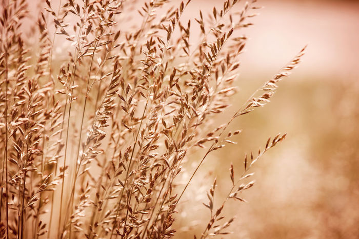 Bunch of sepia toned grass inflorescences with pollen which cause allergic reactions in certain people. Plants on blurred sepia background, horizontal orientation. Photo taken in Poland. Allergic Autumn Bunch Close-up Clump Crop  Ear Golden Grass Grasses Growing Inflorescence Inflorescences Nature No People Plant Plants Poaceae Sepia
