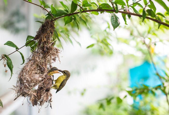 Feeding  Feeding Animals Olive-backed Sunbird Animal Animal Nest Animal Themes Animal Wildlife Animals In The Wild Bird Branch Close-up Day Feeding The Birds Focus On Foreground Hanging Low Angle View Mouth Open Nature No People One Animal Outdoors Perching Plant Tree Vertebrate