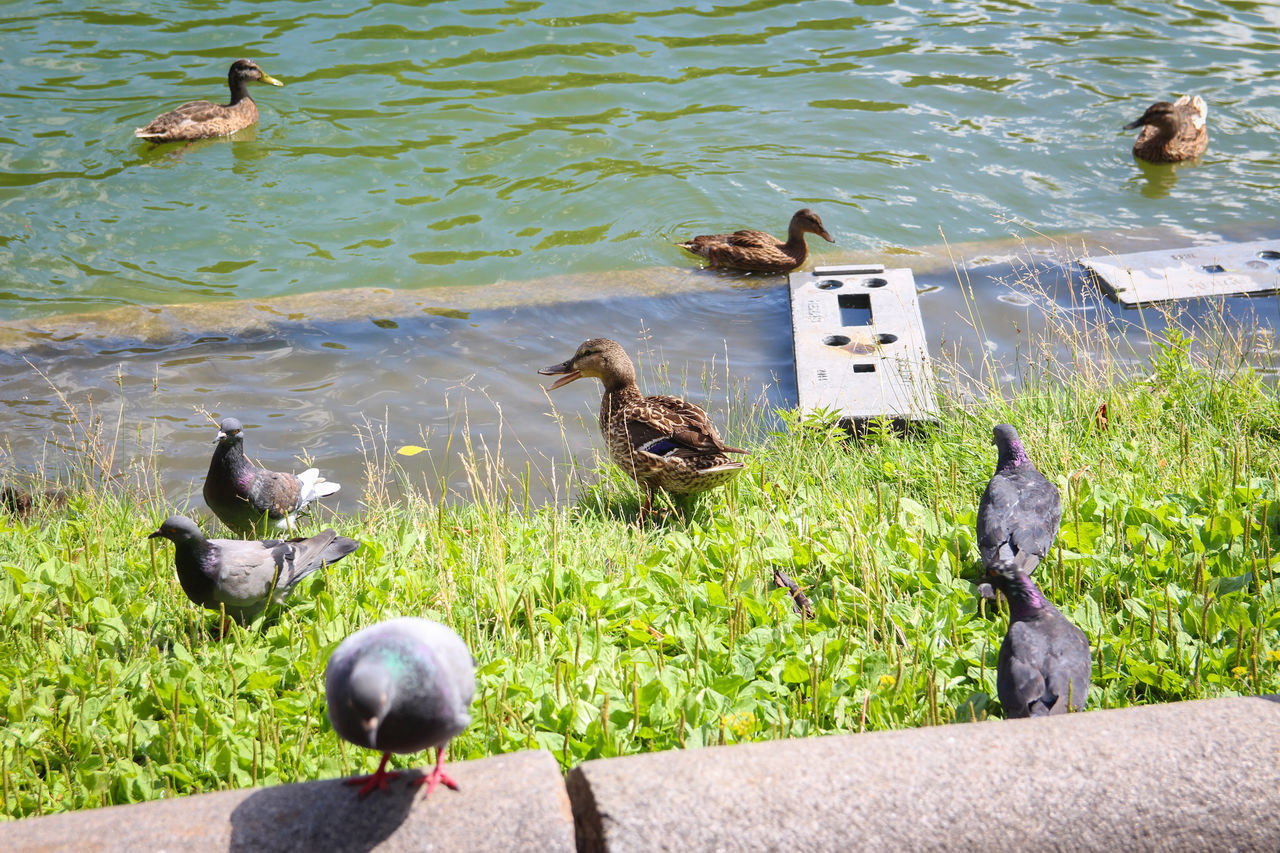 high angle view, bird, animal themes, animals in the wild, water, animal wildlife, day, duck, no people, nature, lake, large group of animals, outdoors, duckling, young animal, grass, perching, swan