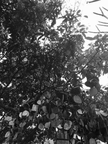 Chinese Wishing Tree at Phoenix Mountain in Baoan - Shenzhen, China Buddhist Temple Buddhism Shenzhen Wish Tree Traditional Culture Traditional Chinese Chinese Style Mountain BaoAn Temple Wishing Tree Chinese Culture Hanging Chinese Phoenix Mountain China Traditionally Chinese Wishes