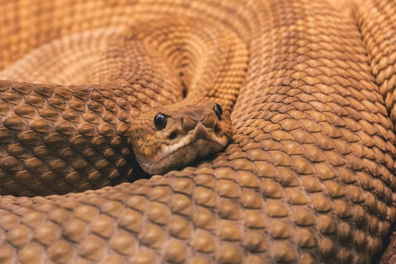 Snake 2.0 HEAD Animal Dessert Dangerous Poison Rattlesnake Snake EyeEm Selects Reptile One Animal Animal Themes Animals In The Wild Animal Wildlife No People Close-up Animal Scale Nature Outdoors EyeEmNewHere