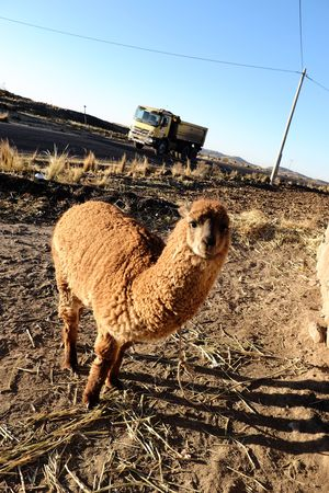 Animal Themes Field Domestic Animals Mammal One Animal Day Outdoors Clear Sky Peru Alpaca Truck Road Andes Peruvian Puno, Perú EyeEmNewHere
