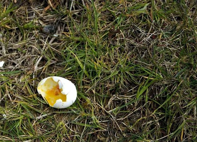 Egg Eggshell Egg Yolk High Angle View Grass Cracked Field Nature Close-up Fragility Outdoors No People Lifeasiseeit Johnnelson Still Life No Filter, No Edit, Just Photography John Nelson
