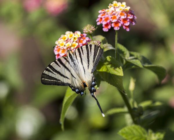 Scarce swallowtail butterfly Iphiclides Macro Photography Scarce Swallowtail Butterfly Swallowtail Butterfly Insect Macro Podalirius Scarce Swallowtail Butterfly