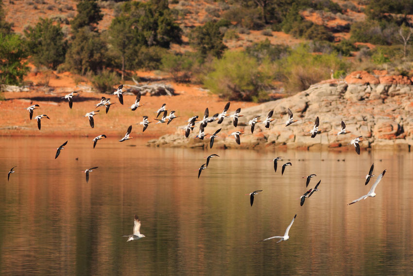 birds in flight Migration Bird Animals In The Wild Large Group Of Animals Nature Animal Themes Flying Water Animal Wildlife No People Gunlock State Park Gunlock Reservoir Utah Gulls In Flight California Gull Spread Wings Lake Avocet American Avocets