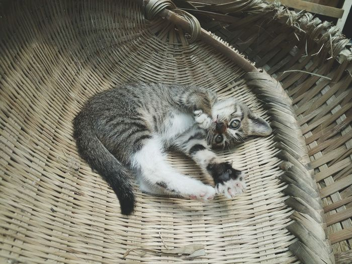 High Angle Portrait Of Kitten In Whicker Basket