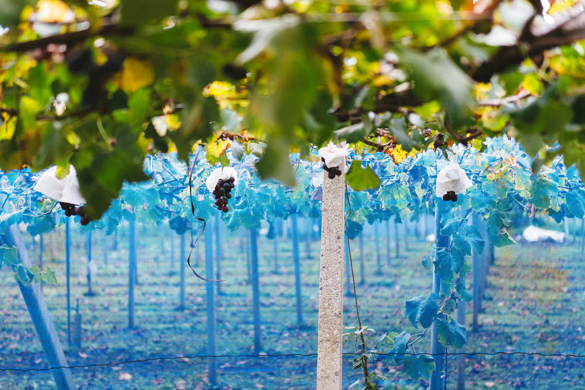 Harvesting of wine grapes in Yamanashi, Japan. Beauty In Nature Blue Close-up Day Flower Fragility Freshness Green Color Growth Nature No People Outdoors Plant Tree