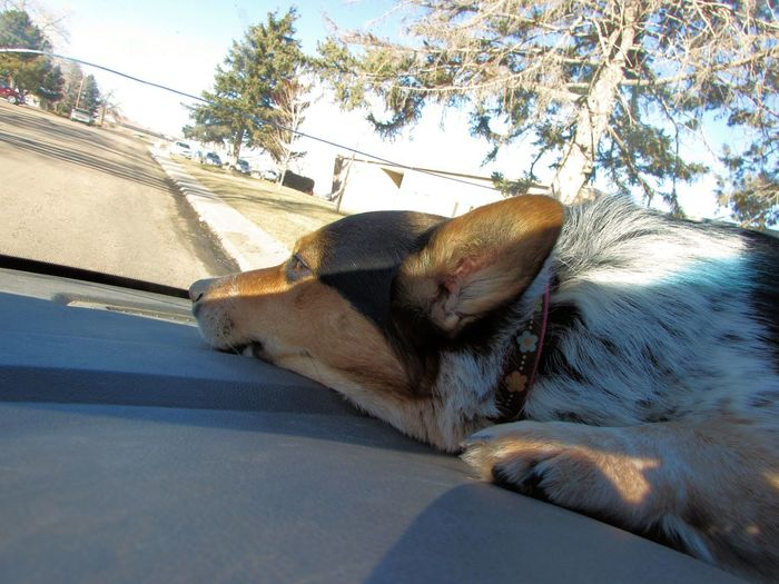 Faith Baby laying in the dash while we wait in the car Animal Animal Themes Animals Car Car Ride  Corgi Cute Cute Animals Cute Dog  Cute Pets Day Dog Dogs Dogslife Domestic Animals Land Vehicle Mammal Mode Of Transport No People One Animal Pets Sky Sunlight Things I Like Transportation