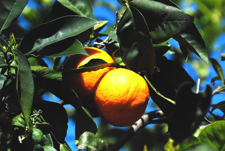 Citrus Fruit Growth Fruit Tree Healthy Eating Leaf Plant Part Food And Drink Plant Orange Color Food Close-up Orange Fruit Tree Orange - Fruit Nature No People Freshness Day Wellbeing