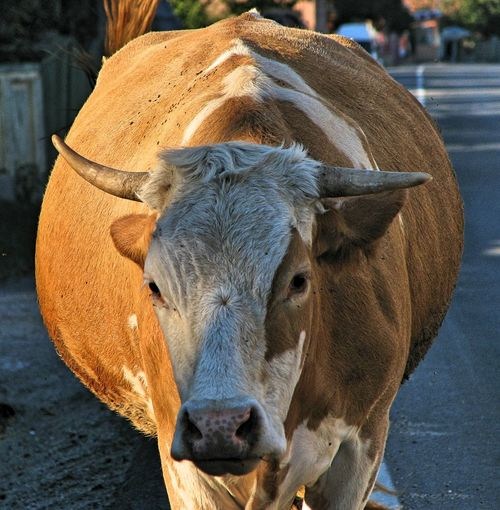 Portrait of cow standing outdoors