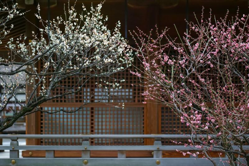 Jonangu Kyoto Plum Blossom Blossom Flowers Flower Collection Flowerporn Nature EyeEm Nature Lover Nature_collection Nature Photography Taking Photos EyeEm Best Shots EyeEm Gallery From My Point Of View The Week on EyeEm Plant Architecture Tree Built Structure Building Exterior No People Growth Flowering Plant Flower Nature Branch Freshness Fragility
