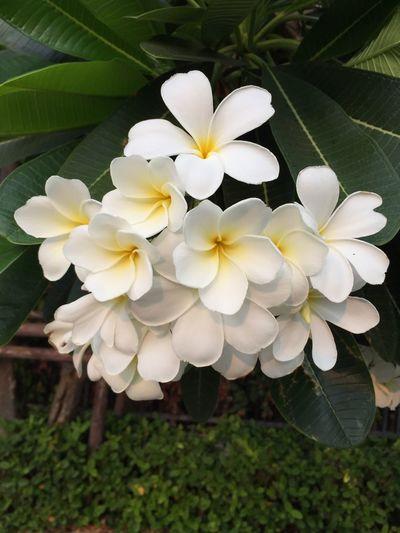 Frangipani flowers Plumeria Flower Frangipani Bush
