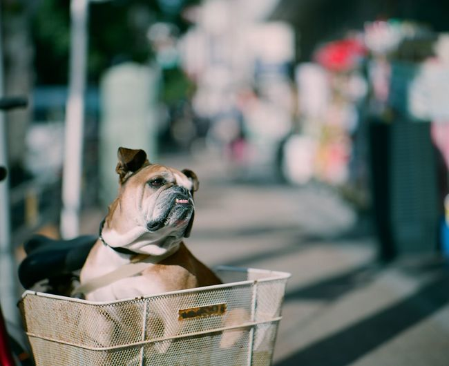 Bulldog in a bicycle basket