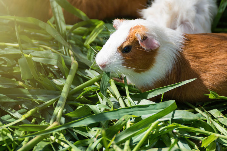 High angle view of rabbit eating grass