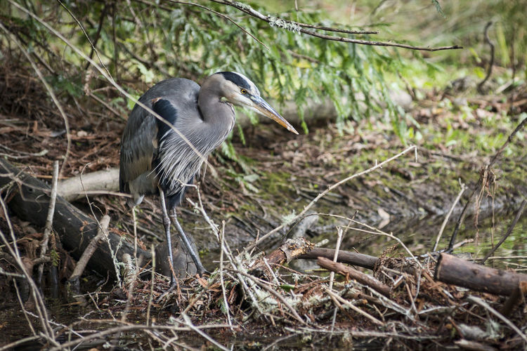 Great Blue Heron Animal Wildlife Animals In The Wild One Animal Animal Bird No People Nature Focus On Foreground Water Bird Full Length Heron Hunting Large Bird Grey Beak And Feathers Eyes Standing Branches And Leaves