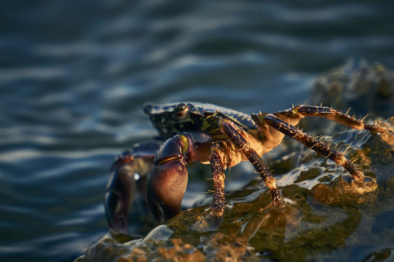 Sunset crab on the edge of the cliff, enjoyng the last sunrays for the day. Sea Water Sunset Nature Animal Day Outdoors Sea Life Crab Marine Close-up No People Animals In The Wild Zoology Selective Focus Animal Body Part Animal Themes One Animal Focus On Foreground Animal Wildlife Capture Tomorrow