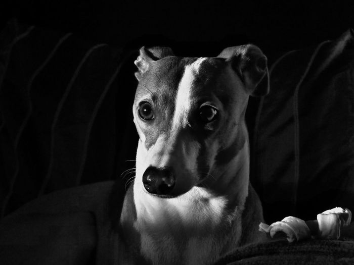 Close-up portrait of dog relaxing on sofa at home