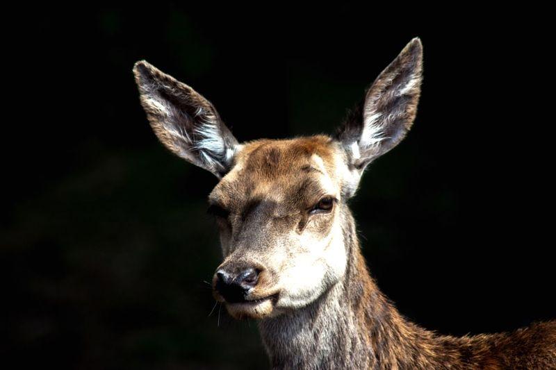 Deer Looking At