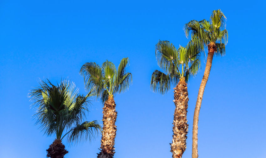 Palm trees of