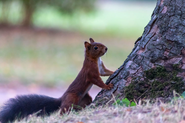 Red eurasian squirrel at the bottom of a rough tree trunk looks attentive at the photographer