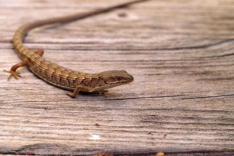 Southern Alligator lizard Elgaria multicarinata sunning itself on a wood picnic table Animals In The Wild Elgaria Multicarinata Lizard Nature Reptile Southern Alligator Lizard Wildlife & Nature Alligator Lizard Animal Animal Themes Animals In The Wild Close-up Day Herp Herpetology Nature No People One Animal Outdoors Reptile Saurian Scales Wild Life Wildlife