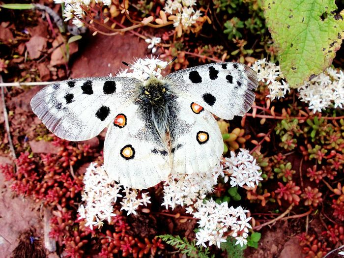 Colour Of Life Butterfly Insect Insect Photography Entomology Nature Nature_collection Nature Photography Naturelovers Colours Bright Colors Parnassius Apollo Apollo Sedum Sedum Plants Eyeemphoto Beauty In Nature Art Is Everywhere