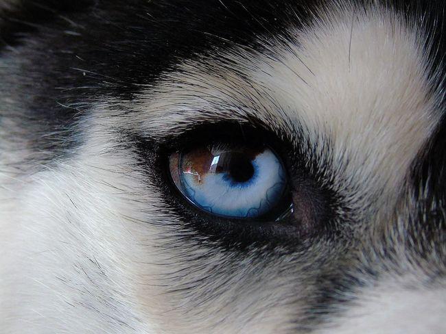 Looking At Camera Eye Eyedog