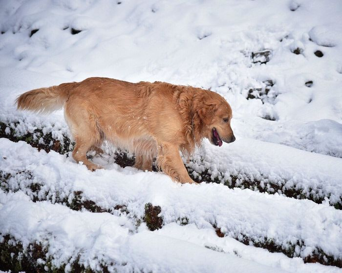 Winter Cold Temperature Snow Animal Themes Frozen Weather No People Mammal Nature Animals In The Wild Outdoors Day Beauty In Nature Pet Photography  Dogs Of EyeEm Golden Retriever Dog Logs Pets Pet Photography  Snow ❄ Snow Covered Outside Photography Winter Domestic Animals