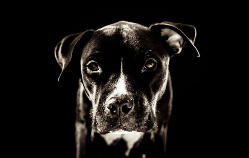 Canine Dog One Animal Pets Domestic Animals Mammal Domestic Animal Themes Animal Looking At Camera Vertebrate Portrait Black Background Studio Shot Indoors  No People Animal Head  Close-up Animal Body Part Cut Out