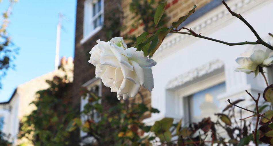 White rose in