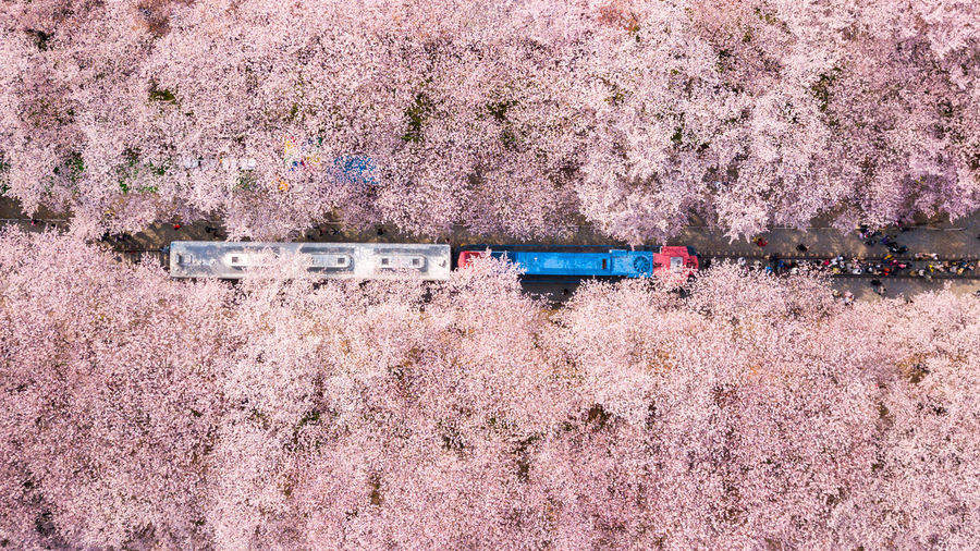 Aerial view of cherry blossoms