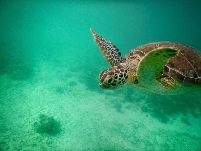 Akumal Mexico México Lindo Y Querido  Riviera Maya Animal_collection Ocean Marine Life EyeEm Nature Lover Snorkeling Eye4photography  EyeEm Best Shots Under The Sea Underwater Turtle Caribe Mexicano Pet Portraits