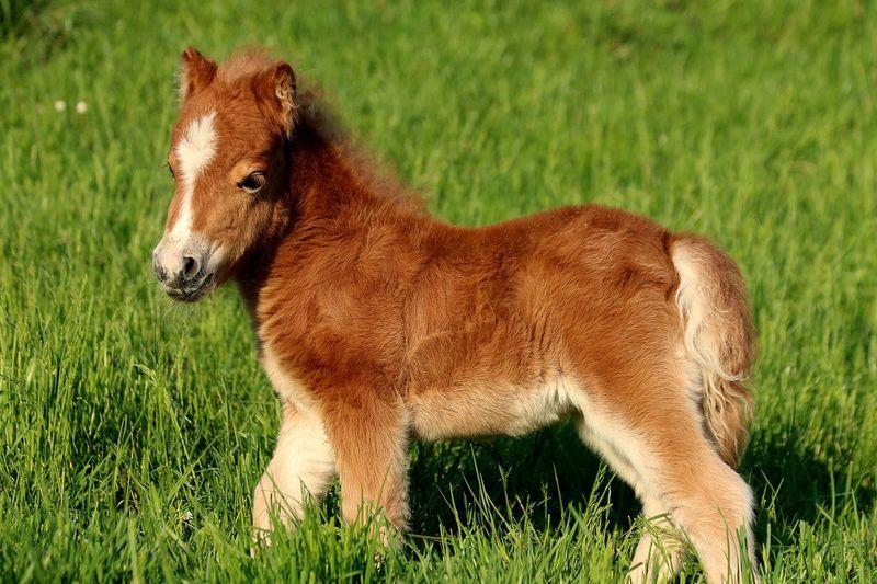 Foal Shetland