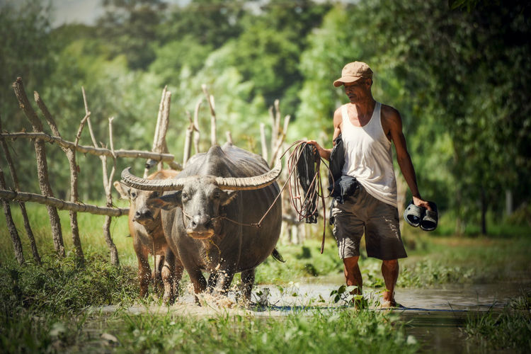 Farmer with buffalo walking / Asia farmer drag buffalo his in field countryside - animal engagement owner person / Black Asian Buffalo Water Buffalo Farmer Rice Field Thailand Water Thai Rural Farm ASIA Animal Asian  Lifestyle Countryside Outdoor Agriculture Nature Farming Man Traditional Background People Work Life Green Natural Landscape Agricultural Paddy Country China Plow Worker Cattle Grass Cambodia His Culture Mammal Wild Wildlife Strong Tropical Horn Portrait Black Cow Mud Heavy Face