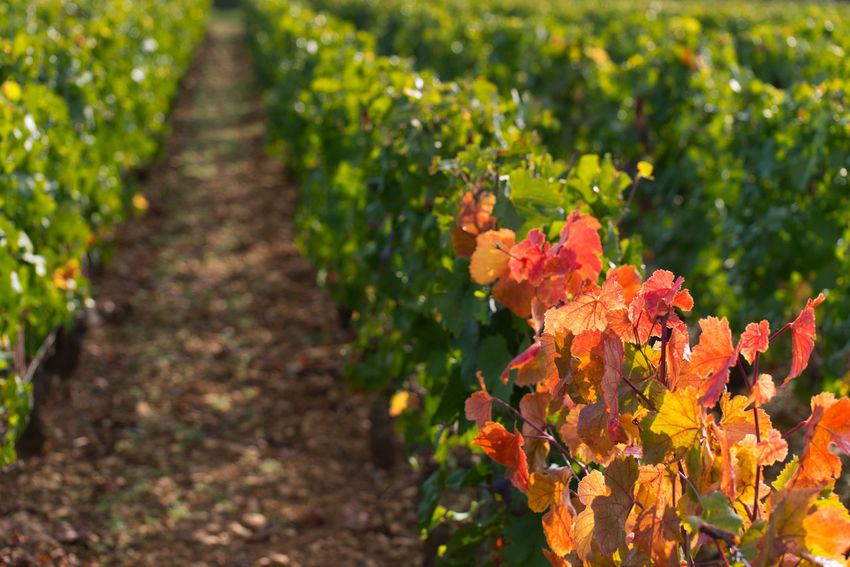 Nature Agriculture Outdoors Growth Day Plant Autumn No People Vineyard Leaf Rural Scene Freshness Vine - Plant Beauty In Nature Winemaking Fruit Red Wine Flower Healthy Eating Bourgogne In A Row Burgundy EyeEm Selects Vines