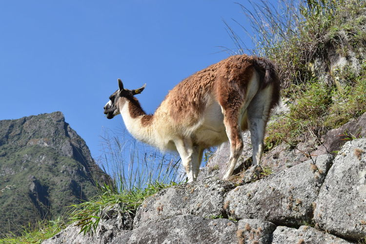 Low Angle View Of Llama Standing On Rocks Against Clear Blue Sky