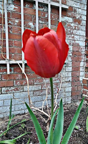 Right as red ! ~ In Portland Maine USA Happiness Beautiful Flower Spring Flowers Nature_perfection Beauty In Nature Springtime No People No Filter Color Of Life Loving The Landscape Garden Plants Nature Lover In The City My Neighborhood Flower Flower Head Red Petal Close-up Tulip In Bloom Plant Life Fragility