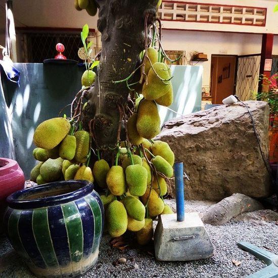 Fertile much? Jackfruit Cambodia Lejardin
