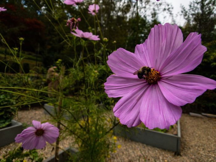 Close-up of cosmos blooming outdoors