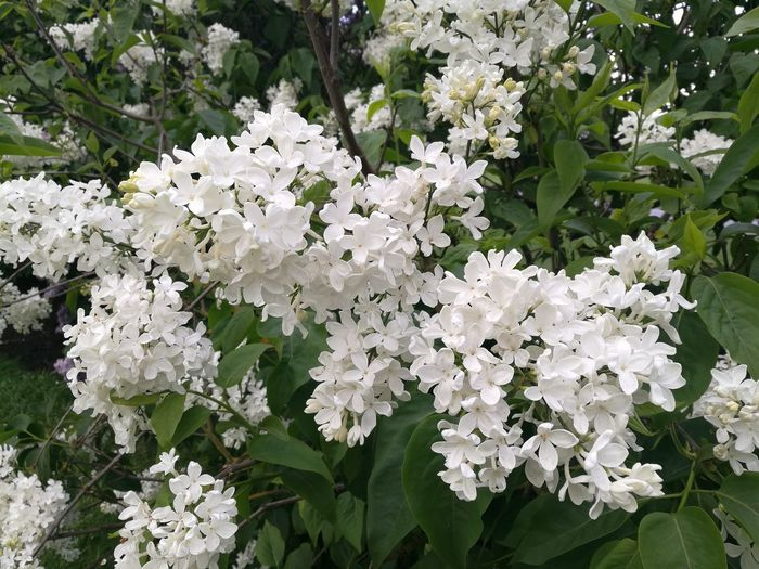 Lilac White Lilac White Color White Blossoms White Blossoms On Tree Lilacs Lilac Tree Lilac Flowers Buds And Blossoms Purist No Edit No Filter HuaweiP9 Smartphonephotography Spring Springtime Nature Beauty In Nature Blossom Outdoors Close-up Flower Growth Freshness Garden Garden Photography Spring Freshness