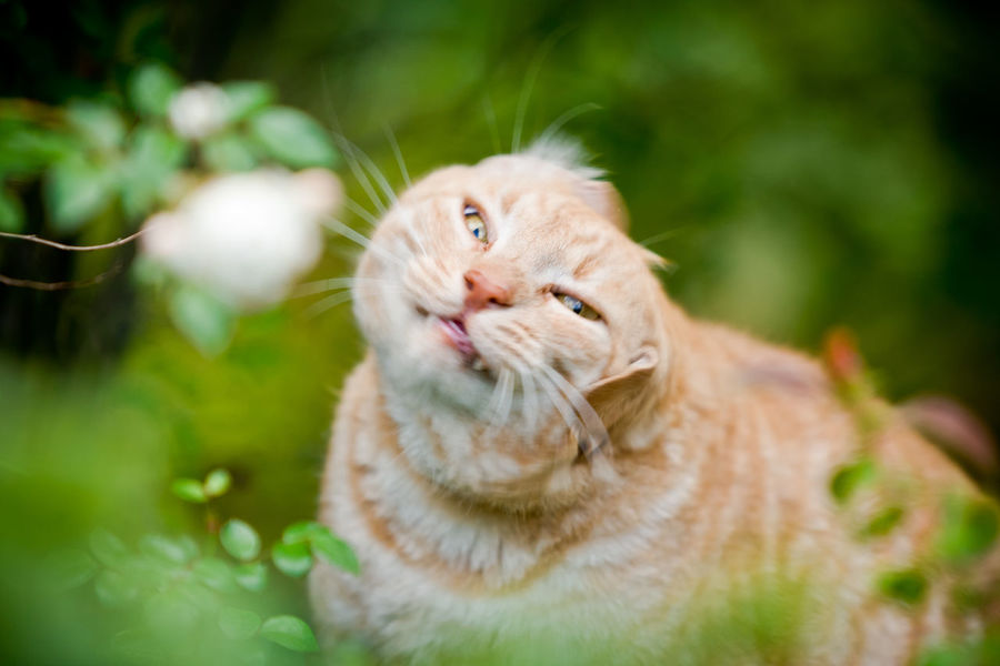 FUNNY ANIMALS Funny Funny Moments Ginger Cat Shaking Animal Animal Head  Animal Themes Cat Cat Head Cat Outdoors Cat Outside Cat Shaking Domestic Animals Domestic Cat Feline Funny Cat Funny Faces Funny Pics Gingercat No People One Animal Pets Shake Shaking Head
